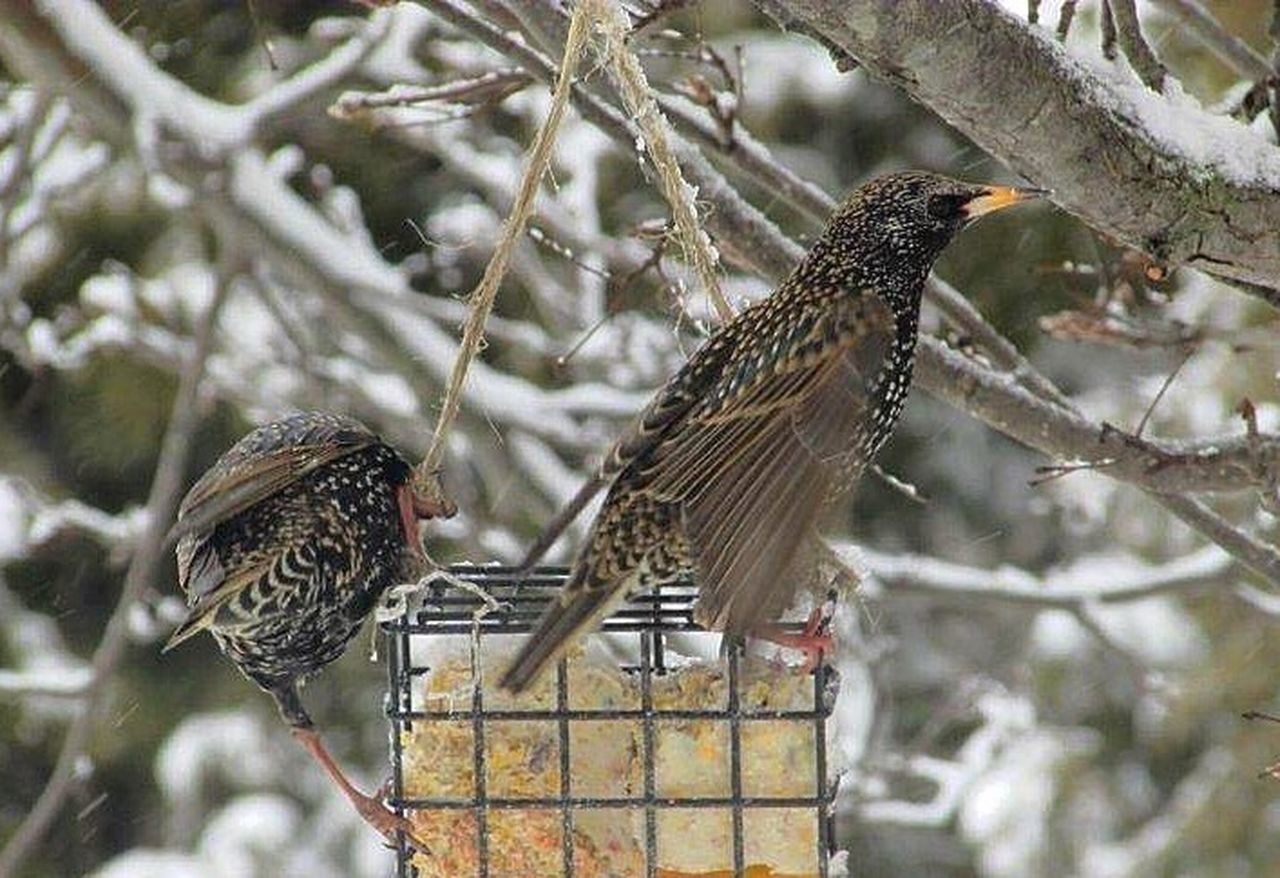 Starlings Starling Birds My Backyard Wildlife Bird Photography Birds And Branches Winter 2016 Feast Bird Watching Birds Of EyeEm  Snow
