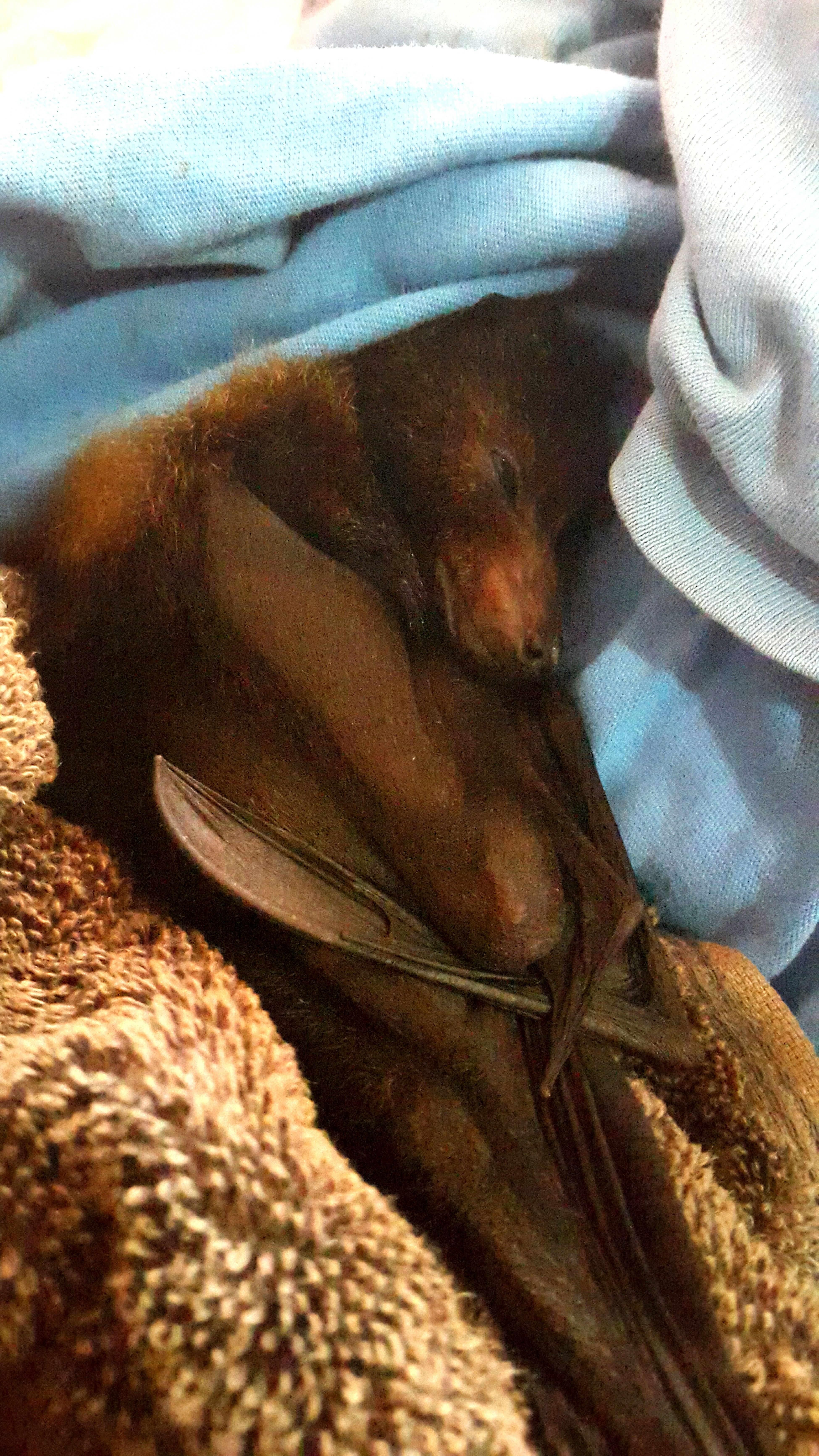 Fruit Bat Island Life Handraised Natural Heritage Fiji Islands Taveuni Island Wildlife Nature On Your Doorstep