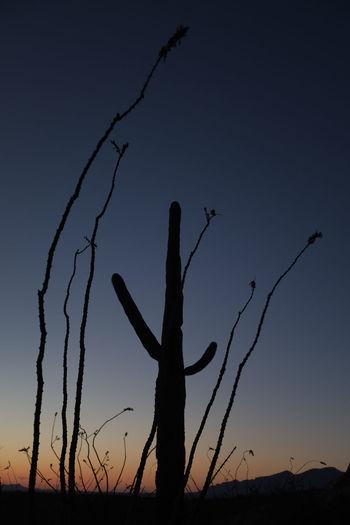 Amazing Arid Climate Arizona Beauty In Nature Blue Cactus Close Up Day Desert Desert Landscape Nature No People Ocotillo Orange Sky Outdoors Saguaro Scenics Serenity Silhouette Sky Sonoran Desert Southwest  Spectacular Sunset Tranquility