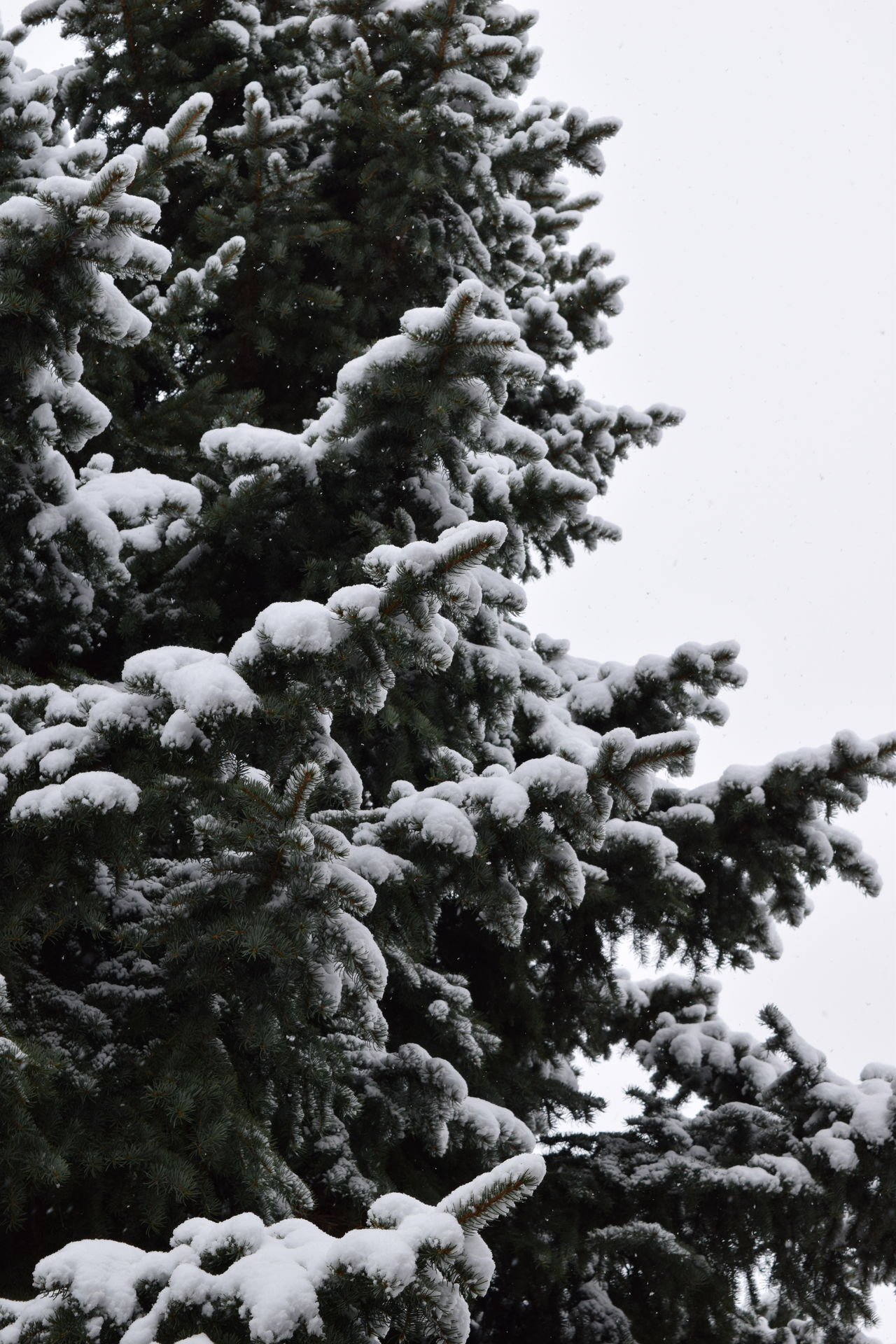 Backgrounds Beauty In Nature Branch Close-up Cold Temperature Day Evergreen Growth Low Angle View Nature No People Outdoors Scenics Sky Snow Tranquility Tree Winter