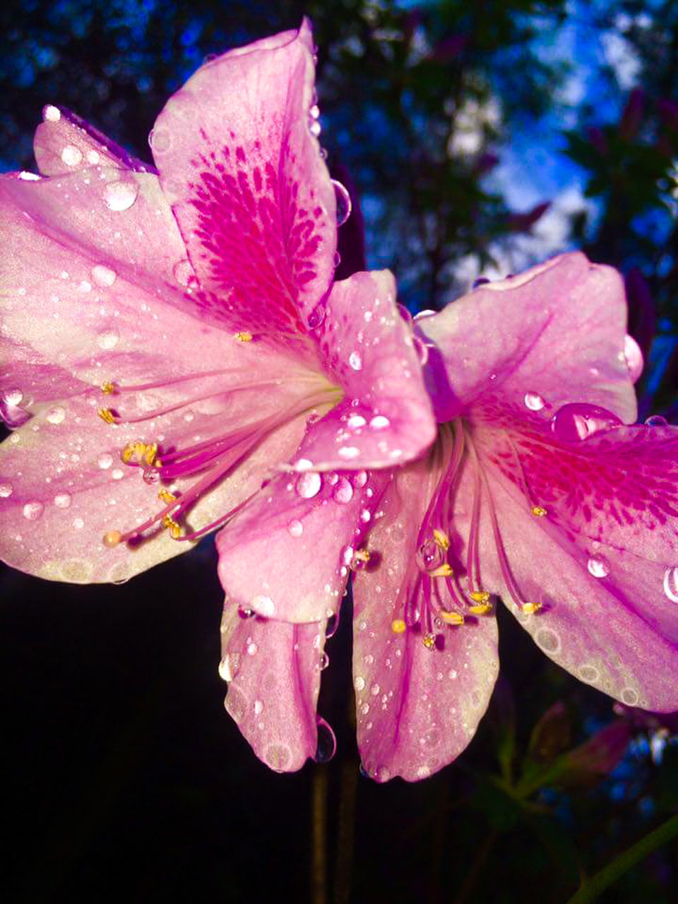drop, flower, nature, fragility, water, petal, growth, beauty in nature, wet, freshness, close-up, no people, flower head, pink color, outdoors, day, springtime, raindrop, plant, day lily
