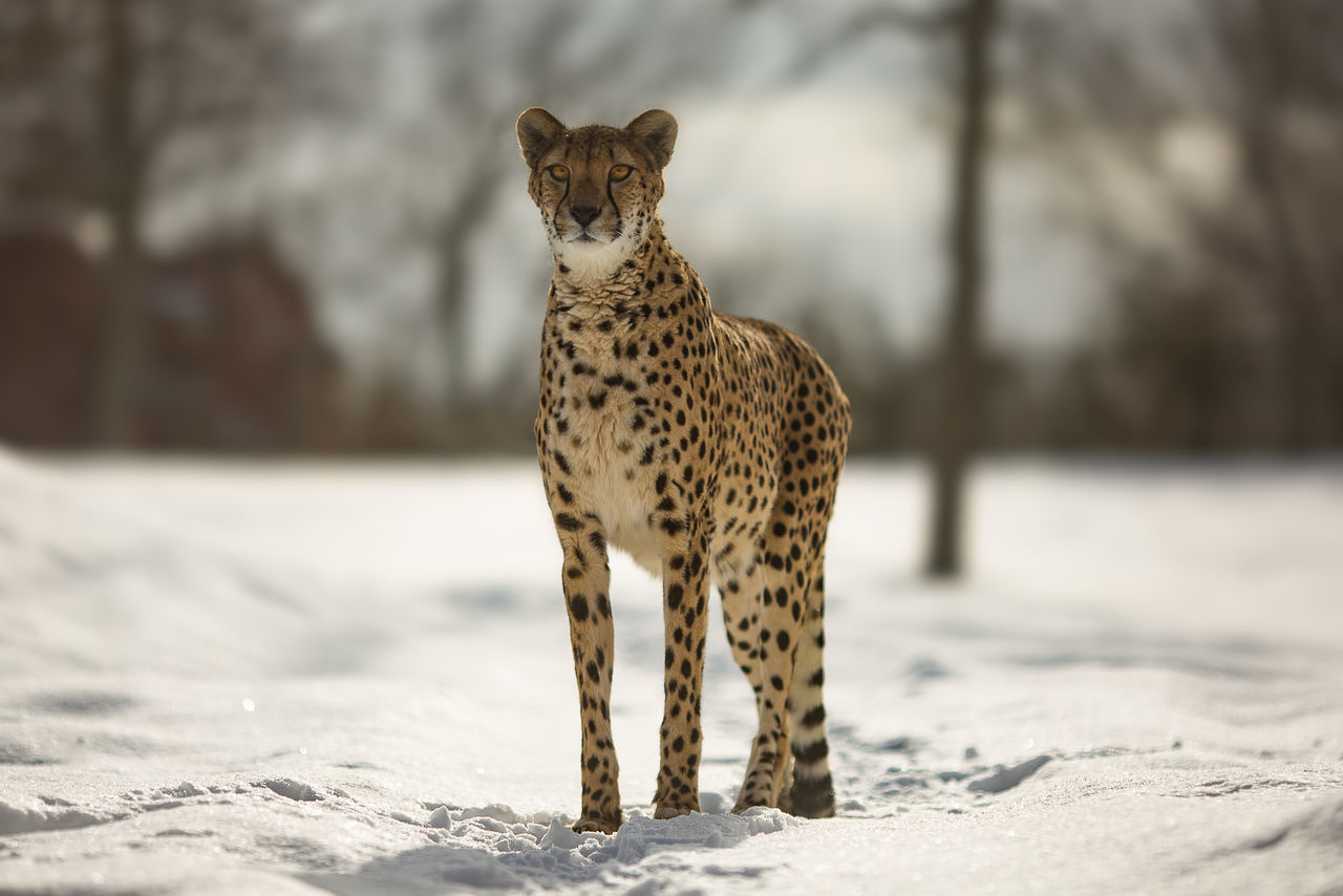 Animal Themes Beauty In Nature Cheetah Cold Temperature Day Full Length Mammal Nature No People One Animal Outdoors Portrait Safari Animals Snow Standing Winter