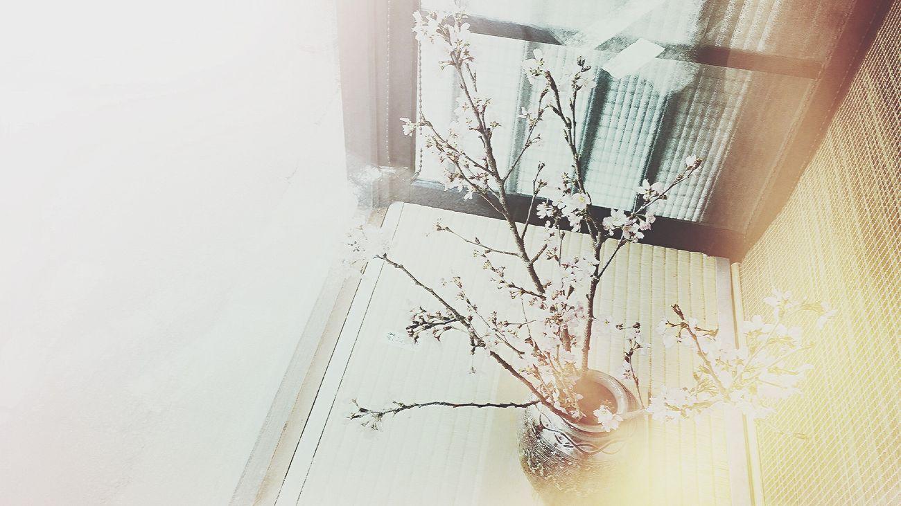 今日のおもてなし🌸 Indoors  No People Plant Home Interior Tree Day Nature Close-up White Background Kyoto,japan Chellyblossom Omotenashi