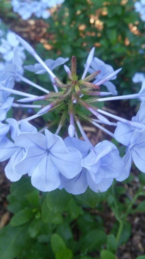Check This Out Pretty Flower Purplish Blue No Filter, No Edit, Just Photography Nature