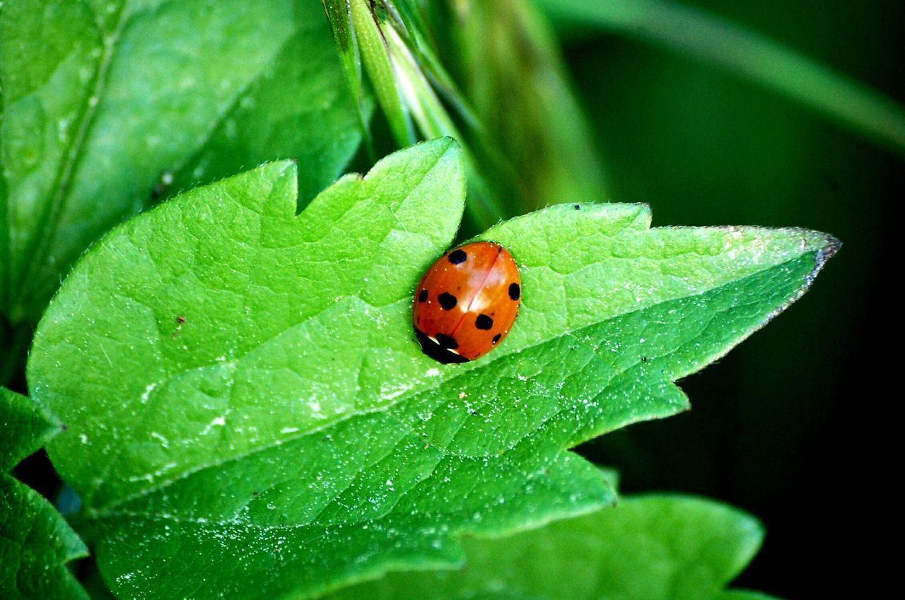 Animal Themes Insect Animals In The Wild Wildlife Ladybug Close-up Green Color Nature Beauty In Nature Vibrant Color Ladybugmacro One Animal Plant Tiny Green