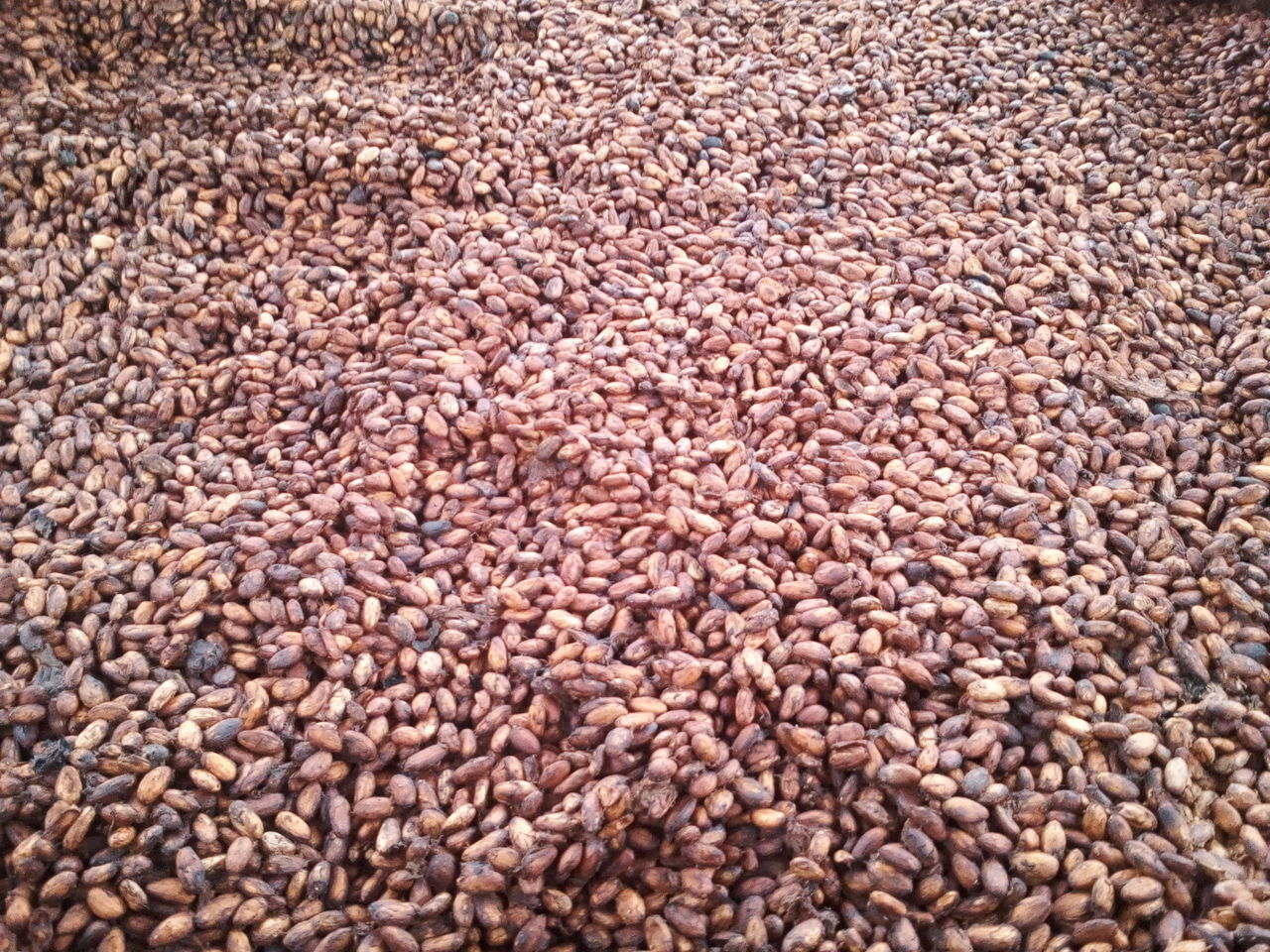 cocoa brazil Fruit Bitter Tropical Agriculture Agro Cocoa Chocolate Plant Tree Export Buy Sell Monay Nature