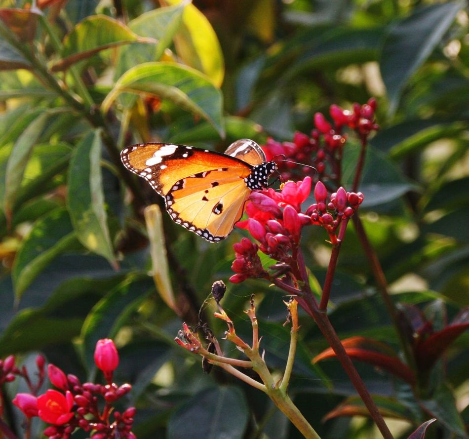 Butterfly in Agra India Indian Garden Butterfly Red Flower Yellow Butterfly Black Taj Gardens Taj Mahal Flower Flowers Nature Insect Insects  New Orange Butterfly