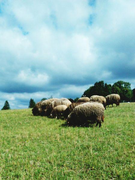 Domestic Animals Animal Themes Grass Livestock Landscape Cloud - Sky Field Rural Scene Pasture Tranquil Scene Sky Flock Of Sheep Meadow Cloudy Nature No People Arturhippe Polishpriest Pokojartura