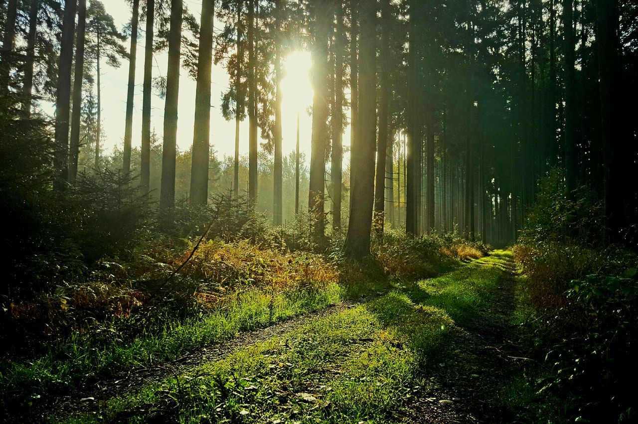 nature, tree, tranquility, tranquil scene, forest, scenics, sunlight, beauty in nature, growth, no people, day, landscape, outdoors, green color, grass, sky