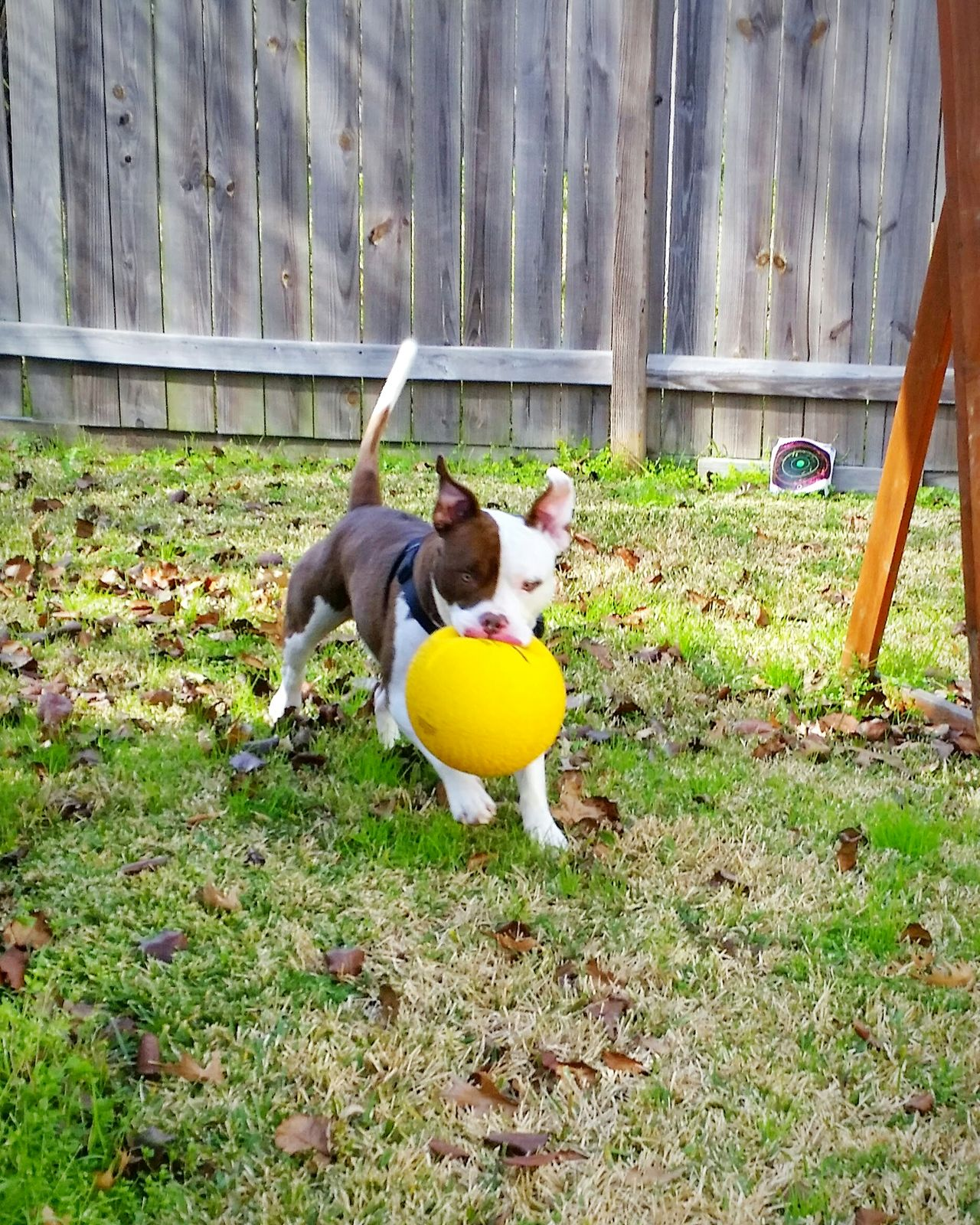 Pet Photography  Enjoying Life Animal Photography Pitbulllove Mansbestfriend Play Time Playfulpups