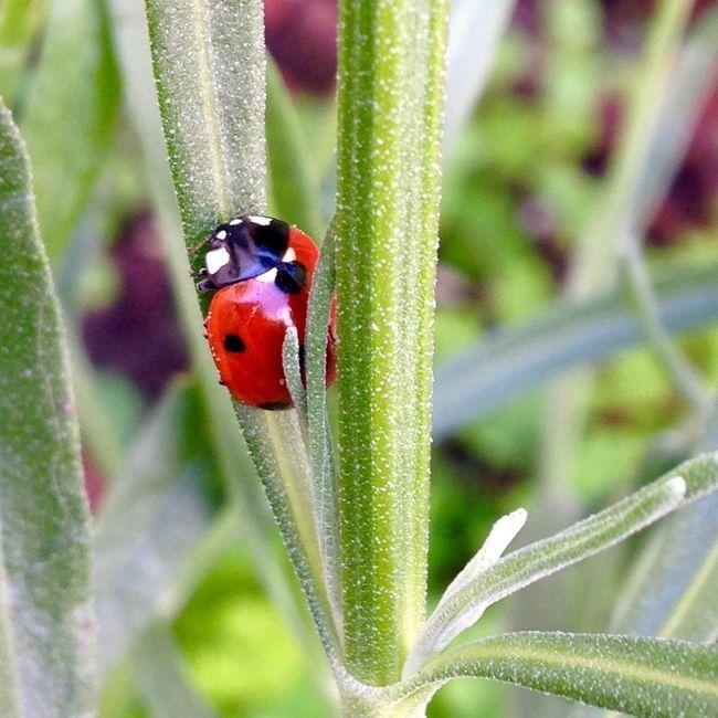 IPhoneography Ladybug Animals Insects  Backyard