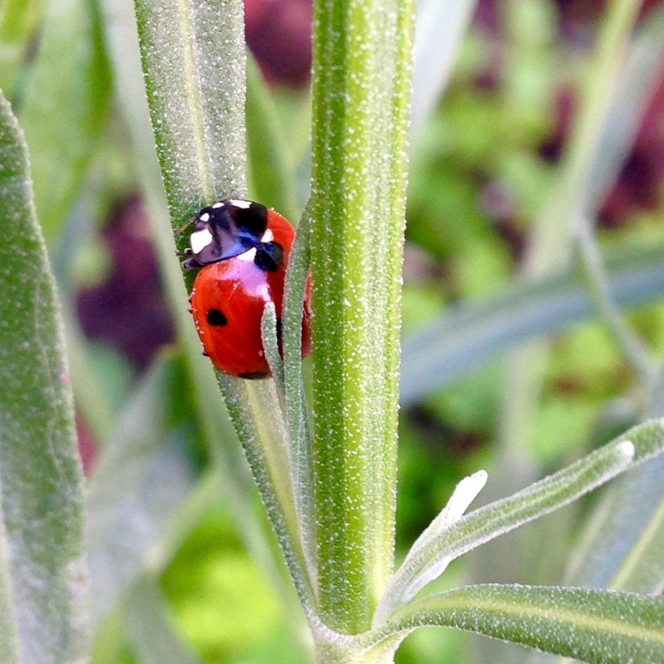 IPhoneography Ladybug Animals Insects  Backyard