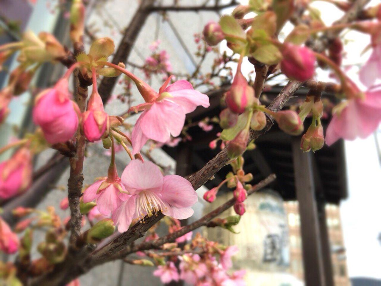 Kyoto Spling Flower Sakura 2017 Kyoto Cherry Blossom Cherry Blossom Cherry Blossoms Kyoto,japan Kyoto Spling Kyoto Sakura Kyoto Sakura 2017 February Cherry Blossoms February Sakura Kyoto City