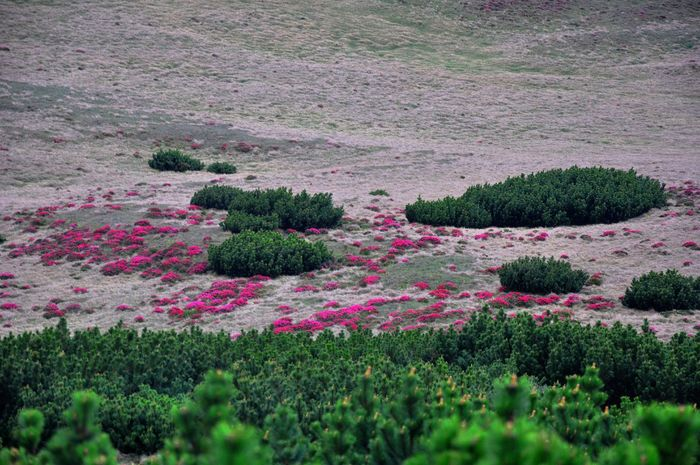 Taking Photos Landscape_Collection Beautiful Nature Naturephotography Rhododendron Pinus Mugo Spring Into Spring