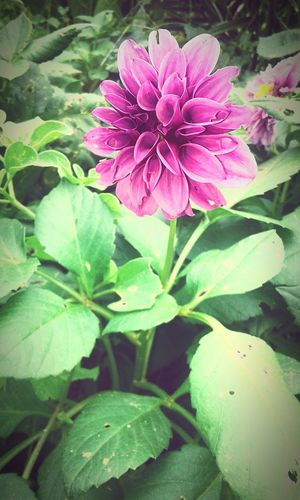 Lo mas hermoso de la naturaleza🌹❤ Flower Plant Leaf Purple Nature Beauty In Nature No People Petal Fragility Outdoors Day Flower Head Pink Color Growth Freshness Close-up