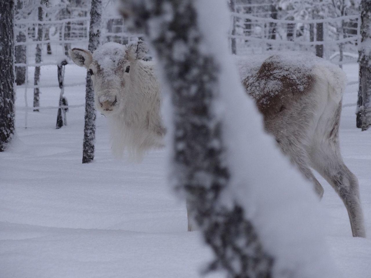 Snow Snow ❄ Snow Day Lapland Animals Animal Animal Photography Animal_collection Animal Themes Mimetism White EyeEm Best Shots EyeEm Nature Lover Snow Sports