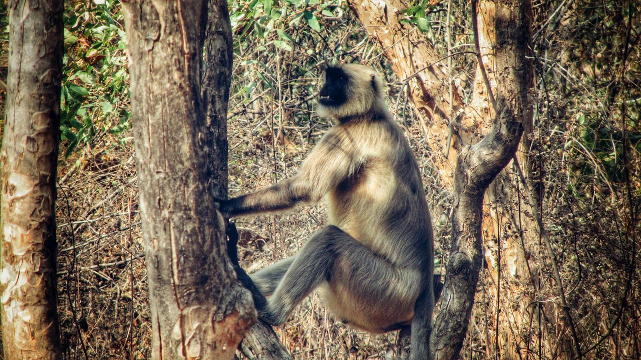 When you're lounging on a tree and suddenly remember that tomorrow is Monday.. Monkey Langur Monkey Langur Animal Themes Mammal Nature Shadow Day Outdoors One Animal Tree No People Animals In The Wild Close-up