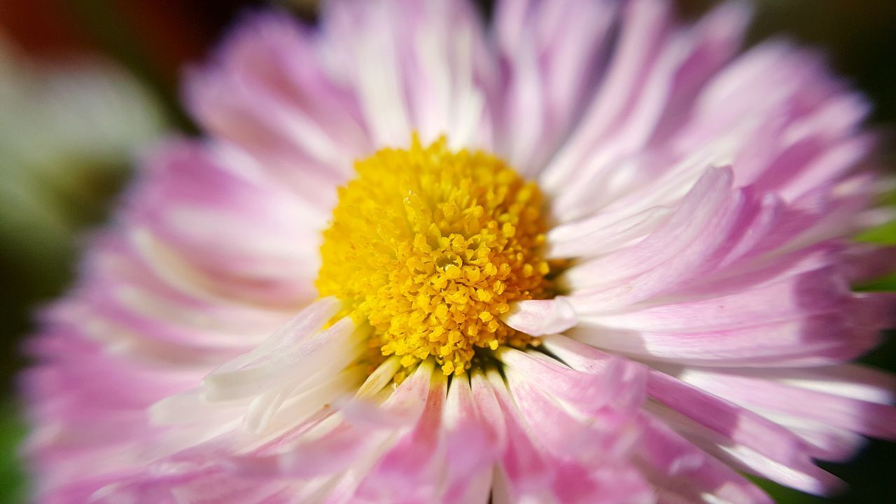 Pink Daisy Pink Pink Flower Pink Daisy Green Background Green Flower Flora Close-up Sunny Backyard Macro Garden Daisy Flower Ireland Leitrim Carrick On Shannon