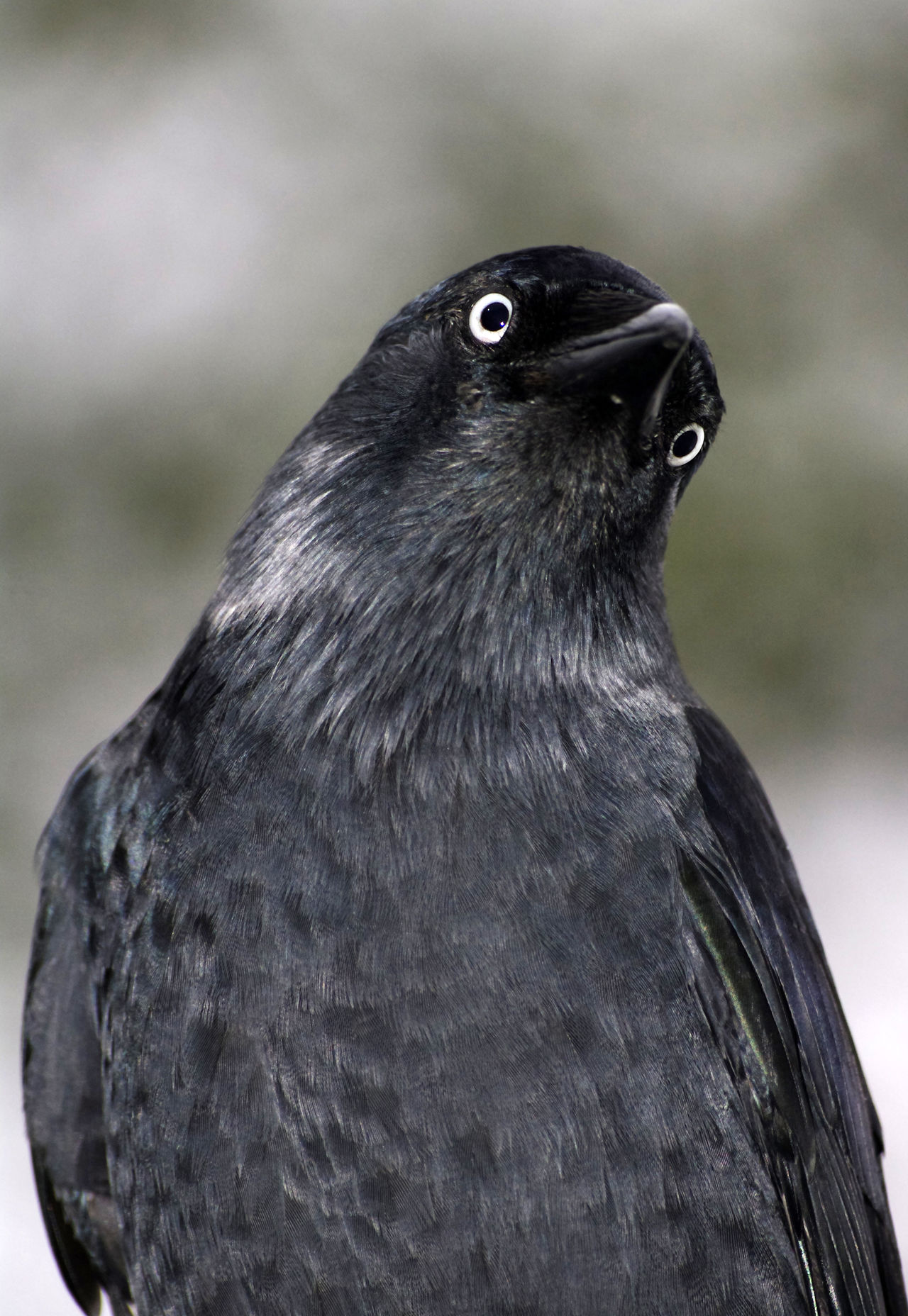 Animal Head  Animal Themes Animals In The Wild Beak Beauty In Nature Bird Close-up Coloeus Monedula Day Focus On Foreground Jackdaw Looking Away Nature No People One Animal Outdoors Perching Wildlife Zoology Natures Diversities The OO Mission Maximum Closeness