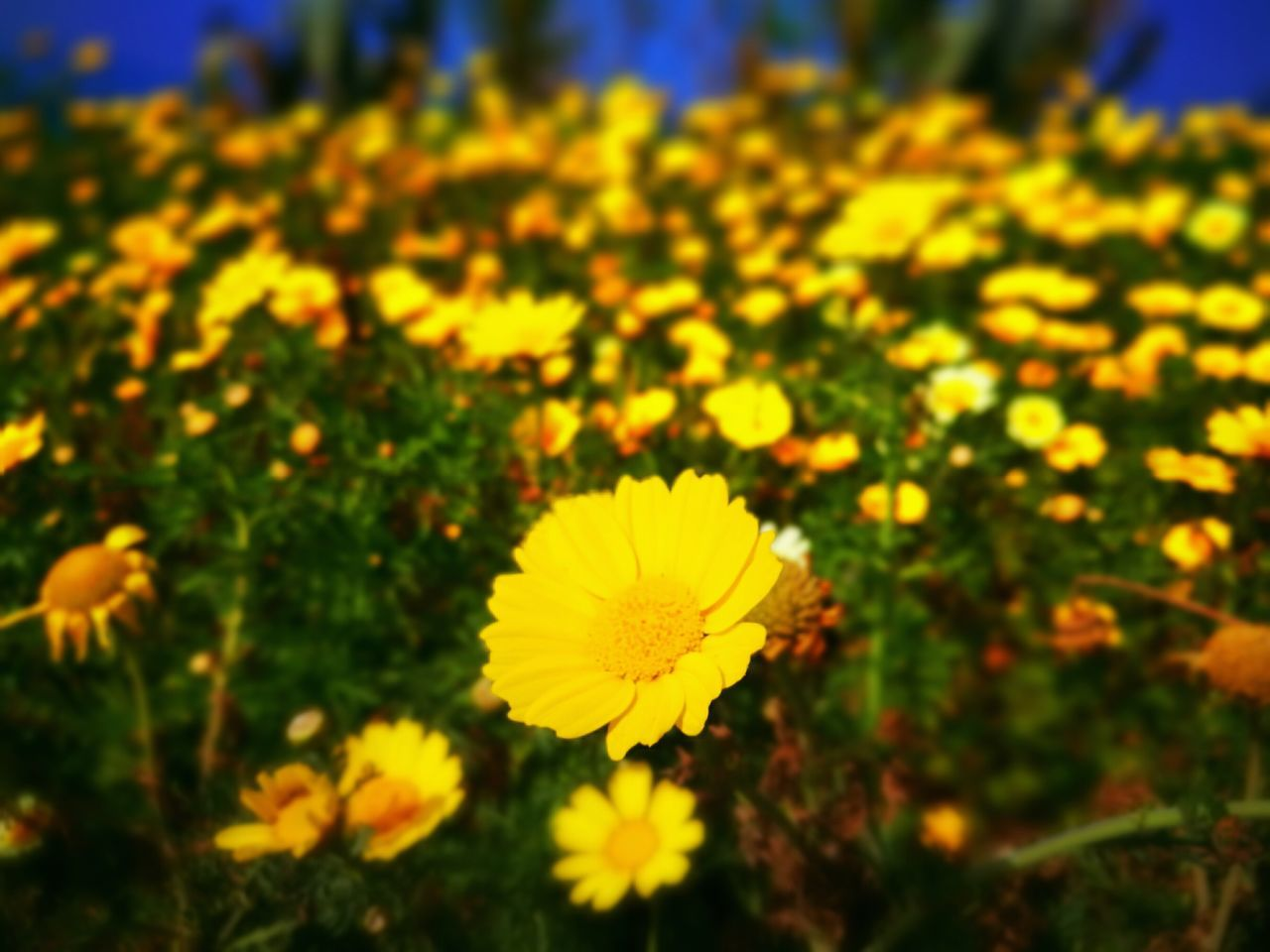 Welcome spring! Flower Nature Daisy Daisy Flower Daisies Yellow Flower Yellow Flowers Seaside Seasons Springtime Spring Flowers Fragility Beauty In Nature Yellow Growth Plant Focus On Foreground Flower Head Freshness Outdoors Petal Close-up Day No People HuaweiP9