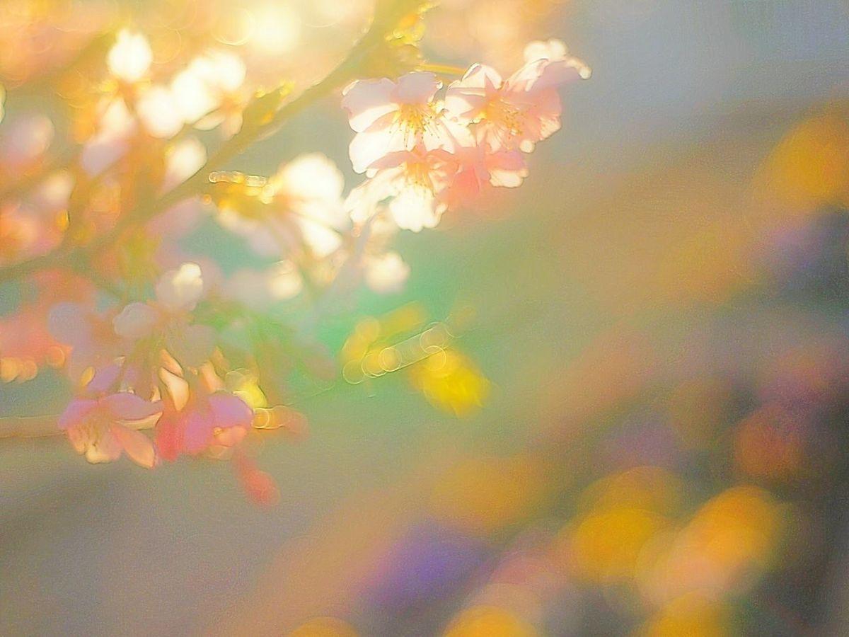 夕陽を浴びて。Showcase March Spring Colorful Colors Fleshyplants Airy Flowers Pink Airy Dreamfantasy Spring Colours Takumar Bokeh Plum 梅 Bokeheffect Spring Time Blossom Japan EyeEm Nature Lover 玉ボケ