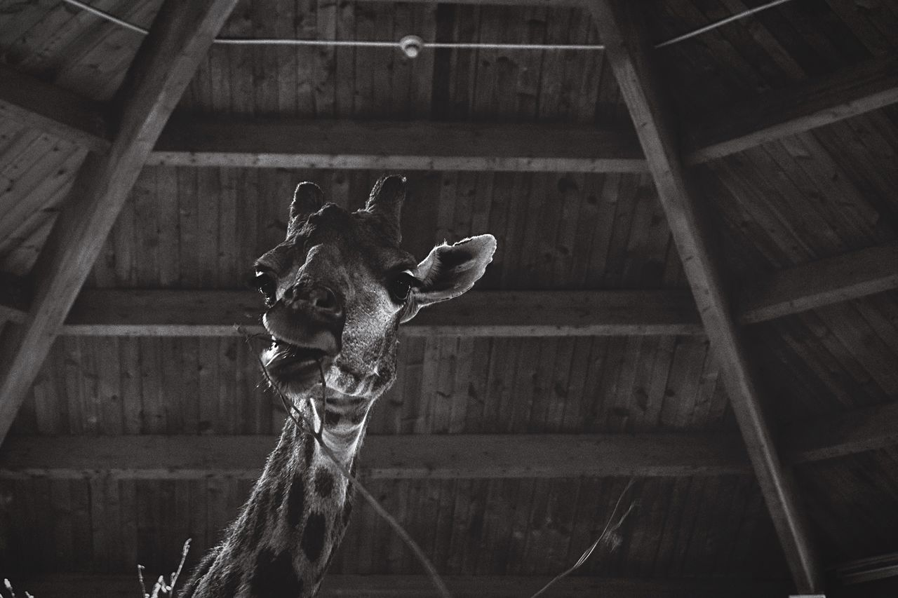 What a face 😄😂 Giraffe Wood - Material No People Close-up Animal Themes Indoors  Day Giraffe Giraffes Giraffe♥ Giraffe ♡ Giraffe Head Blackandwhite Black And White Black & White Black And White Photography Animals Animal Photography Animal_collection Animal Portrait Zoo