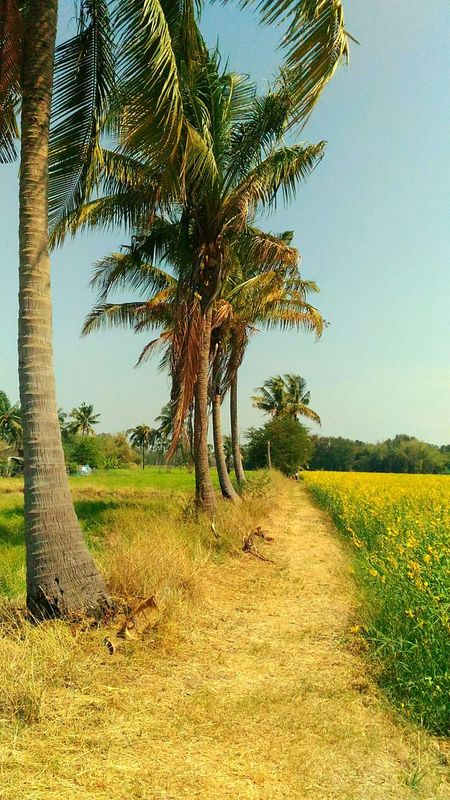 Way mile in far away country among sunhempMiles Away Sunhemp Flowers Flower Field Mile Way Coconut Tree Route Travel Walk Places Landscape Country Long Goodbye