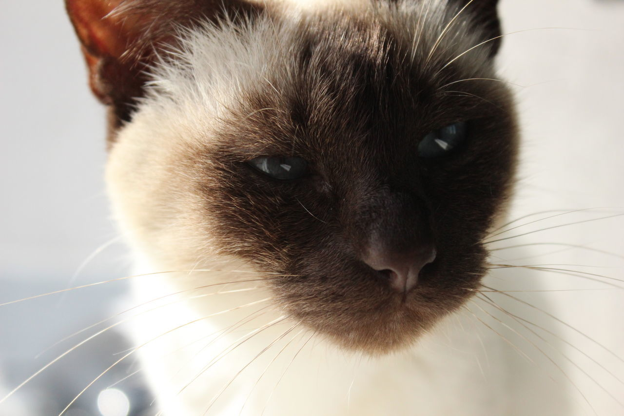 Animal Animal Portrait Blue Eyes Bright Cat Cat Eyes Cat Portrait Cateyes Catface Cats Close-up Domestic Animals Domestic Cat Eye Focus On Foreground No People Nofilter Pet Portrait Siam Siamcat Siamese Siamese Cat Siamesecat Siamesecats