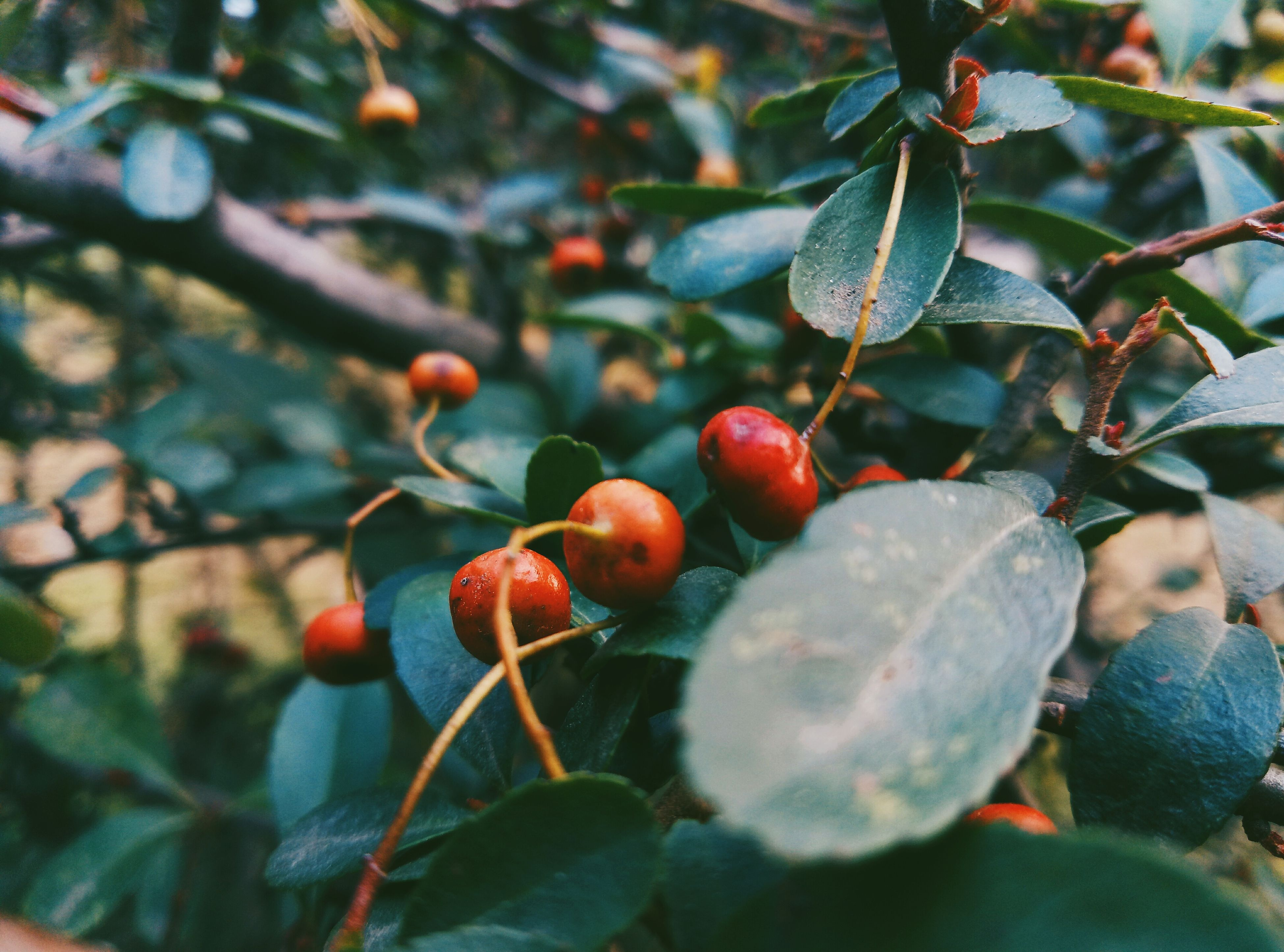 fruit, food and drink, growth, nature, growing, leaf, outdoors, food, tree, day, rose hip, no people, rowanberry, freshness, focus on foreground, close-up, branch, healthy eating, plant, red, beauty in nature