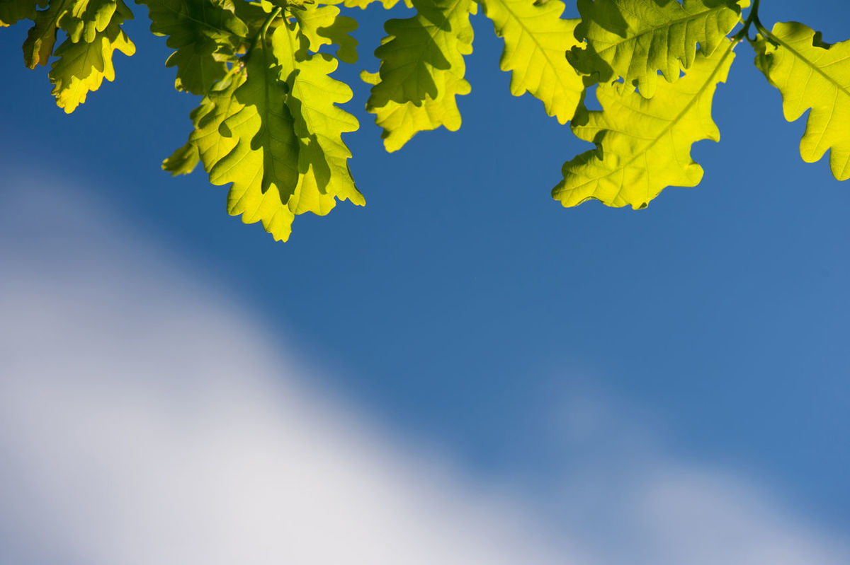 Bunch of green young oak leaves in sunlight on blue sky in spring time. Oak is a tree or shrub in the genus Quercus. Photo taken in Poland, horizontal orientation, nobody. Blue Sky Bright Close-up Day Deciduous Fagaceae Foliage Green Green Leaves Greenery Leaf Leafy Leaved Leaves Nature No People Oak Oak Leaves Plant Plants Quercus Spring Sunlight Sunny Tree