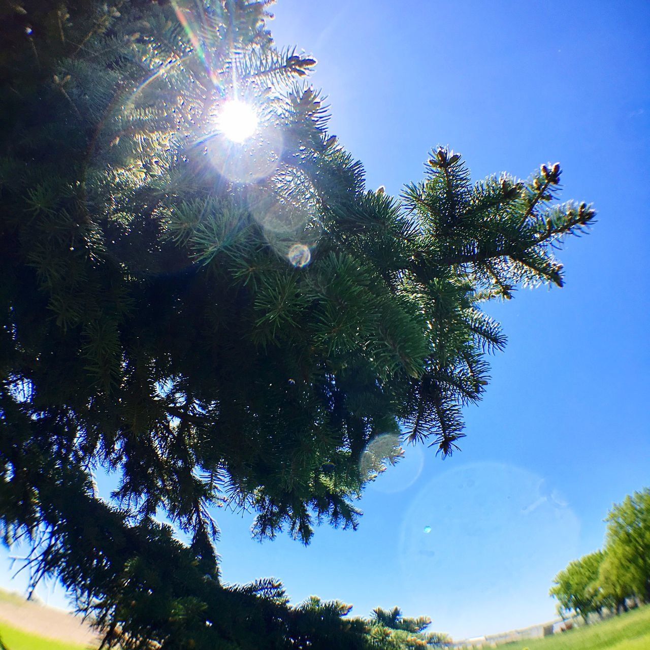 Tree Low Angle View Growth Sun Lens Flare Nature Sky No People Sunlight Day Beauty In Nature Branch Leaf Clear Sky Outdoors Hope Blue Sky Minneapolis Evergreen