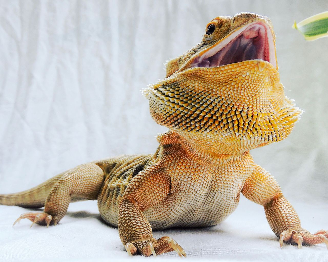 Bearded Dragon One Animal Close-up Animal Themes No People Indoors  Reptile Day Close Up Reptile Reptile Photography Lizard Animal Pet Spiked Open Mouth Mouth Open Detail Yellow Orange Leatherback Australian Wildlife Animal Head