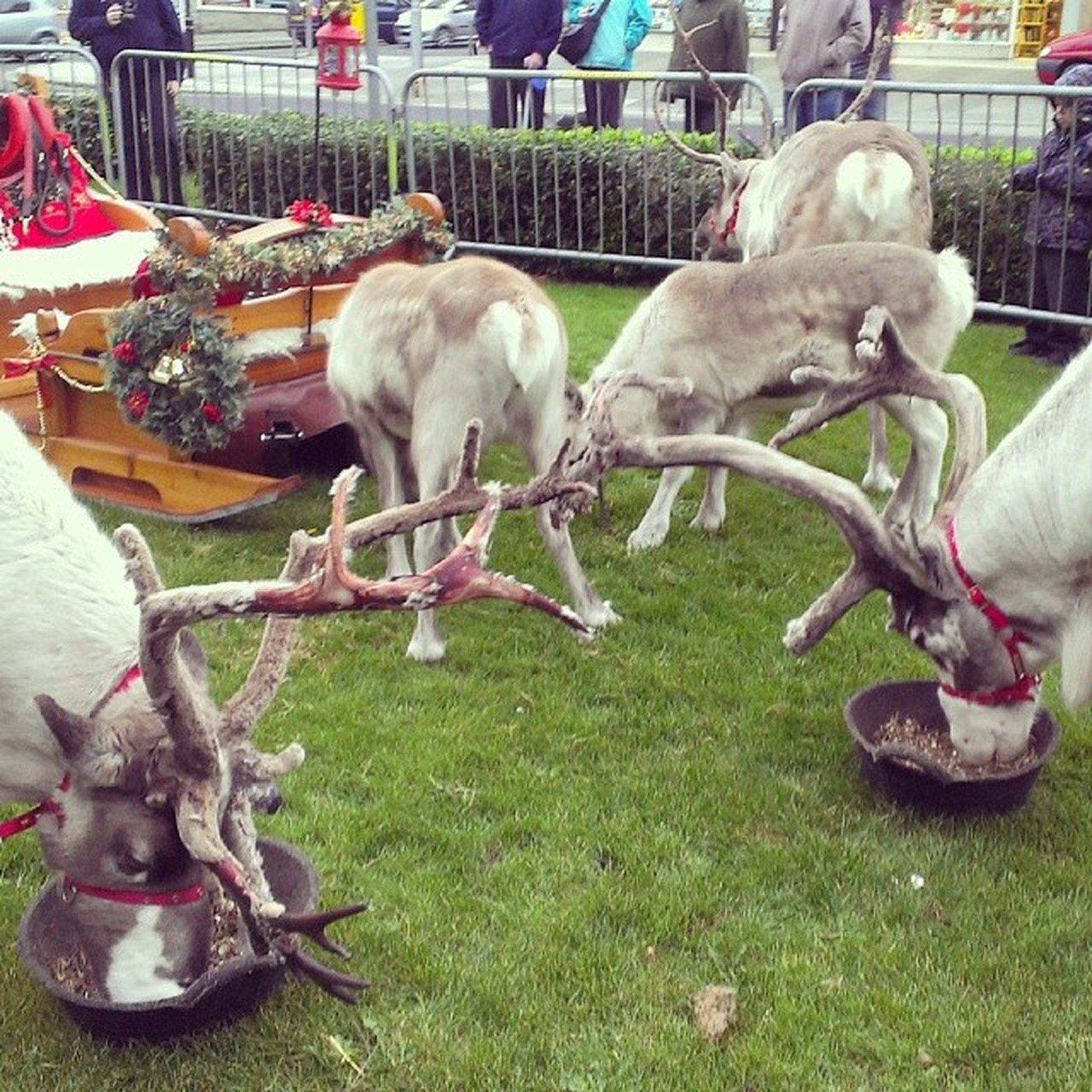 The Reindeer are in Newquay, but where's santa?