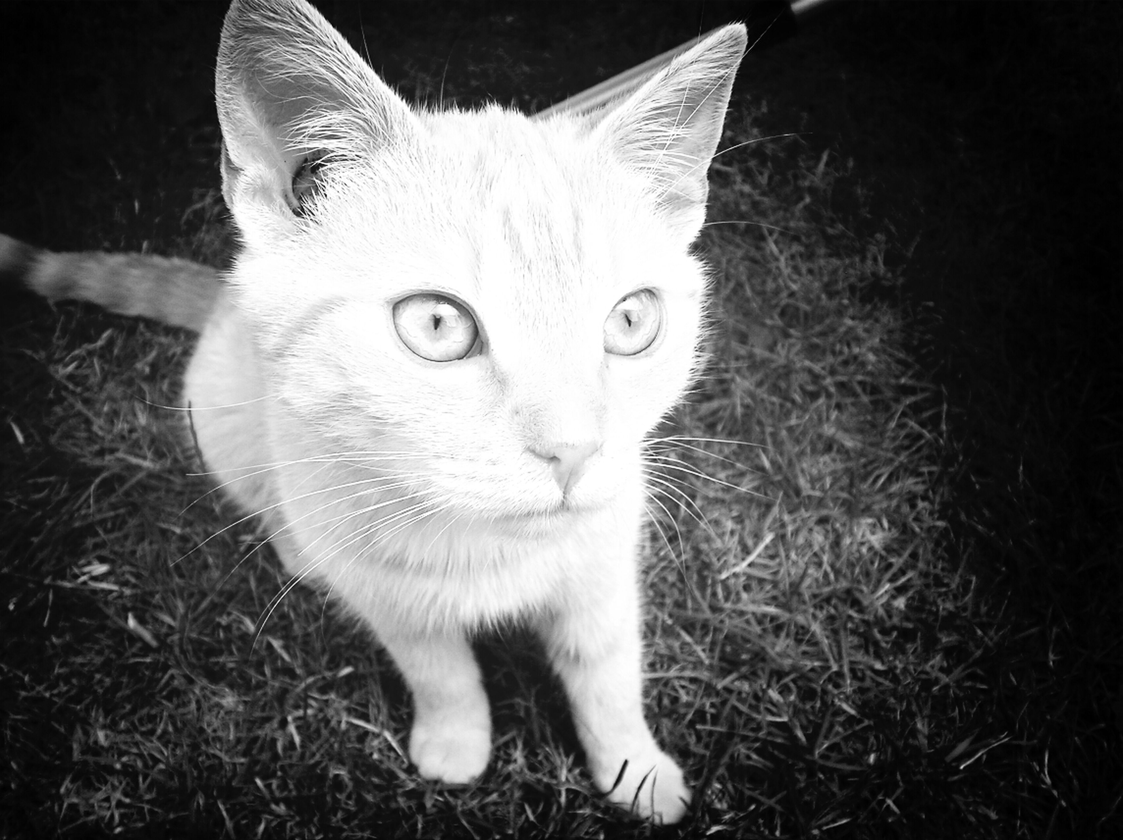 domestic cat, animal themes, one animal, domestic animals, cat, pets, feline, mammal, whisker, portrait, looking at camera, close-up, alertness, grass, animal head, white color, sitting, field, front view
