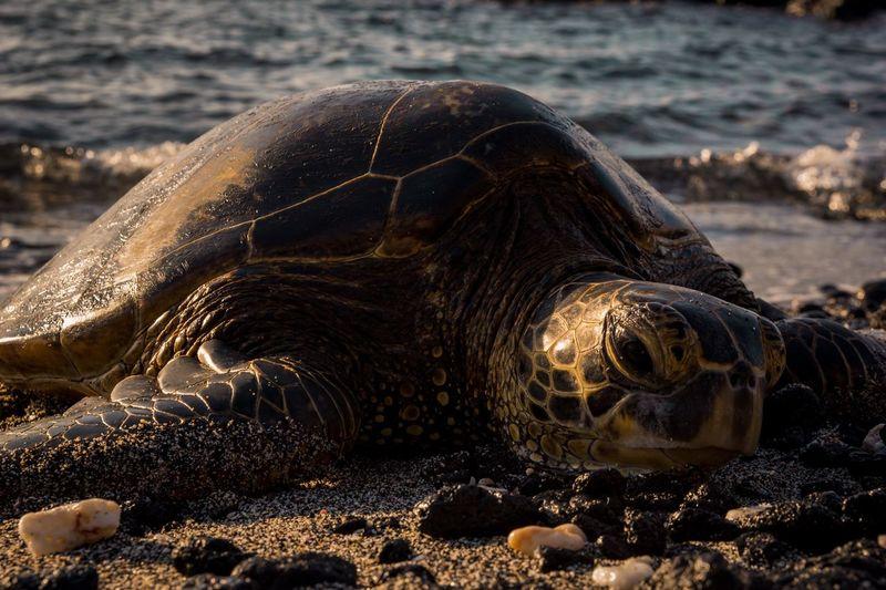 Honu.🐢 Honu Animal Wildlife Green Sea Turtle Turtle Love Hawaii
