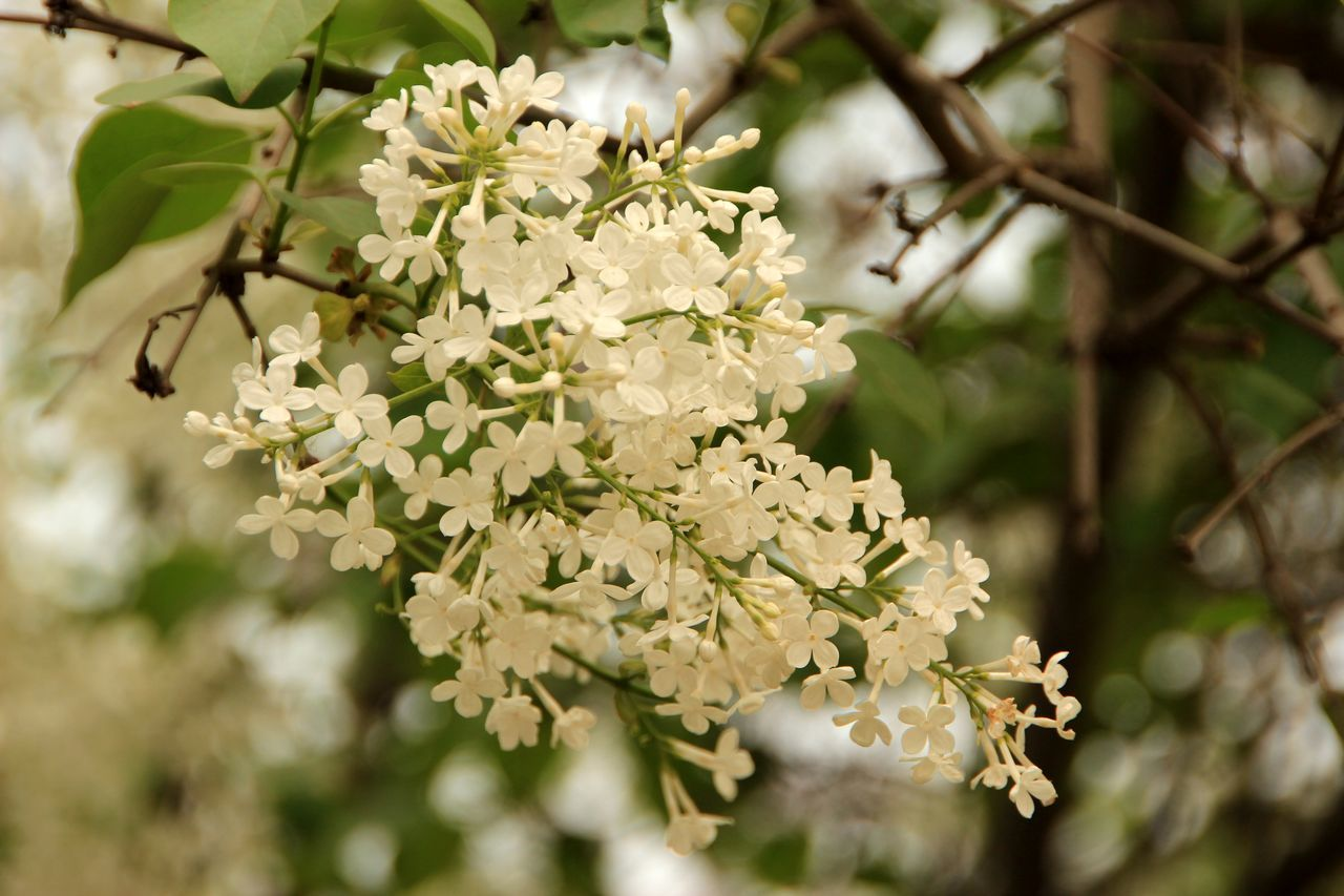 flower, nature, fragility, beauty in nature, growth, white color, apple blossom, no people, day, freshness, tree, branch, close-up, outdoors, flower head