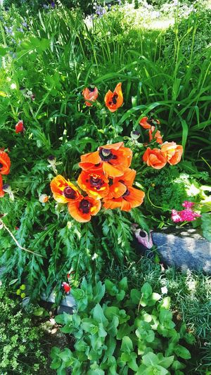 Colorado poppies! Beautiful Flowers Growth Flower Orange Color Plant Nature Fragility Beauty In Nature Freshness Outdoors Flower Head Flowers