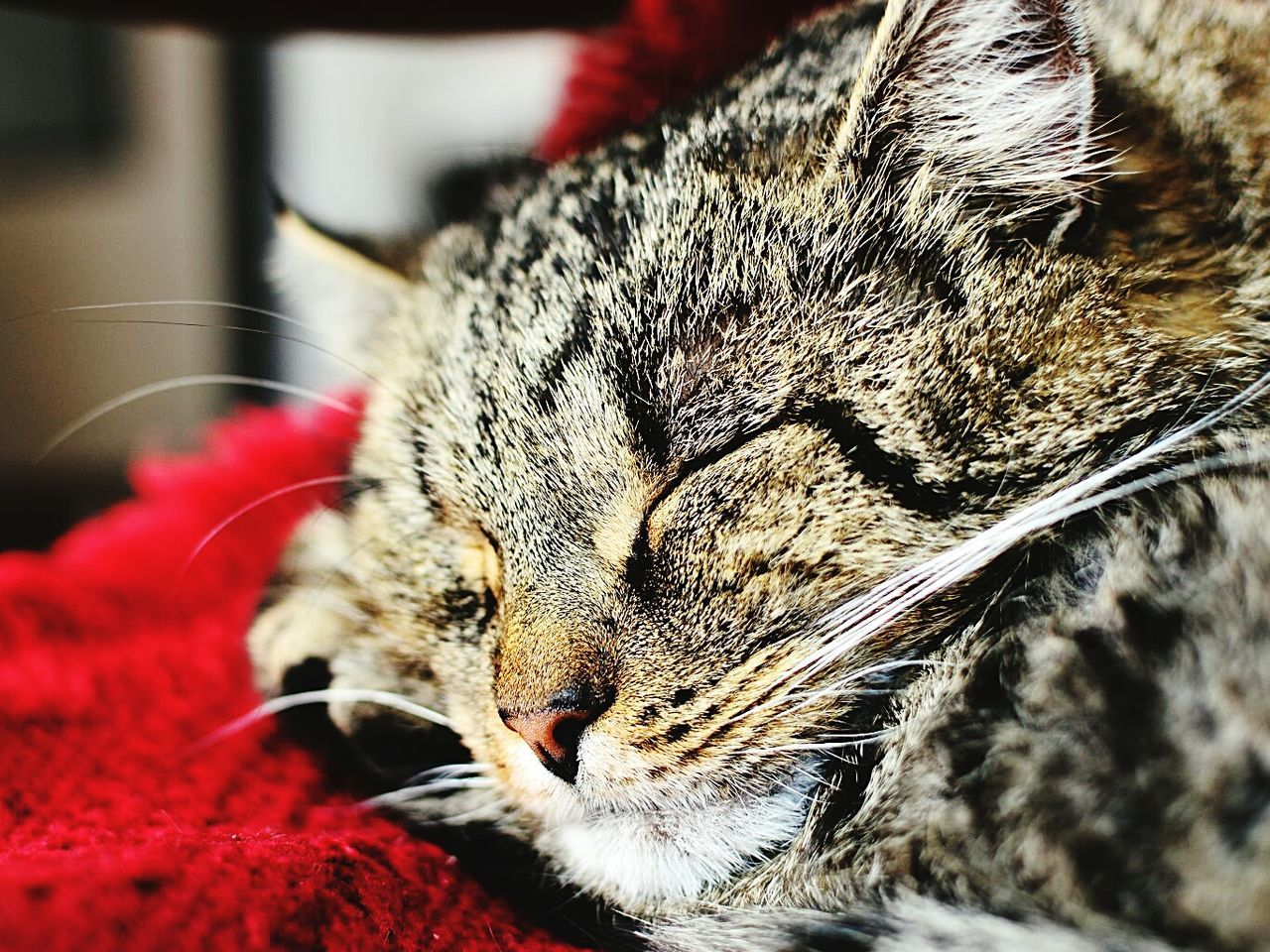 domestic cat, animal themes, domestic animals, one animal, pets, mammal, feline, cat, close-up, whisker, no people, eyes closed, indoors, lying down, relaxation, day