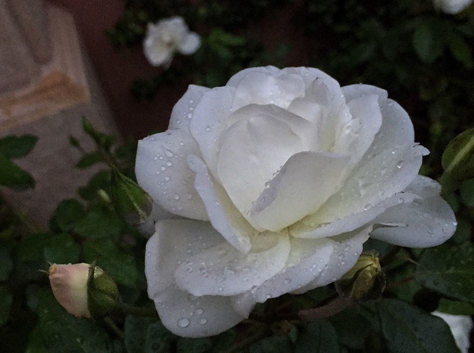 White rose with water droplets. White Rose Roses White Roses Flower Water Droplets Beads Of Water Nature Petal Beauty In Nature Wet Drop Water Close-up Plant No People Outdoors Day