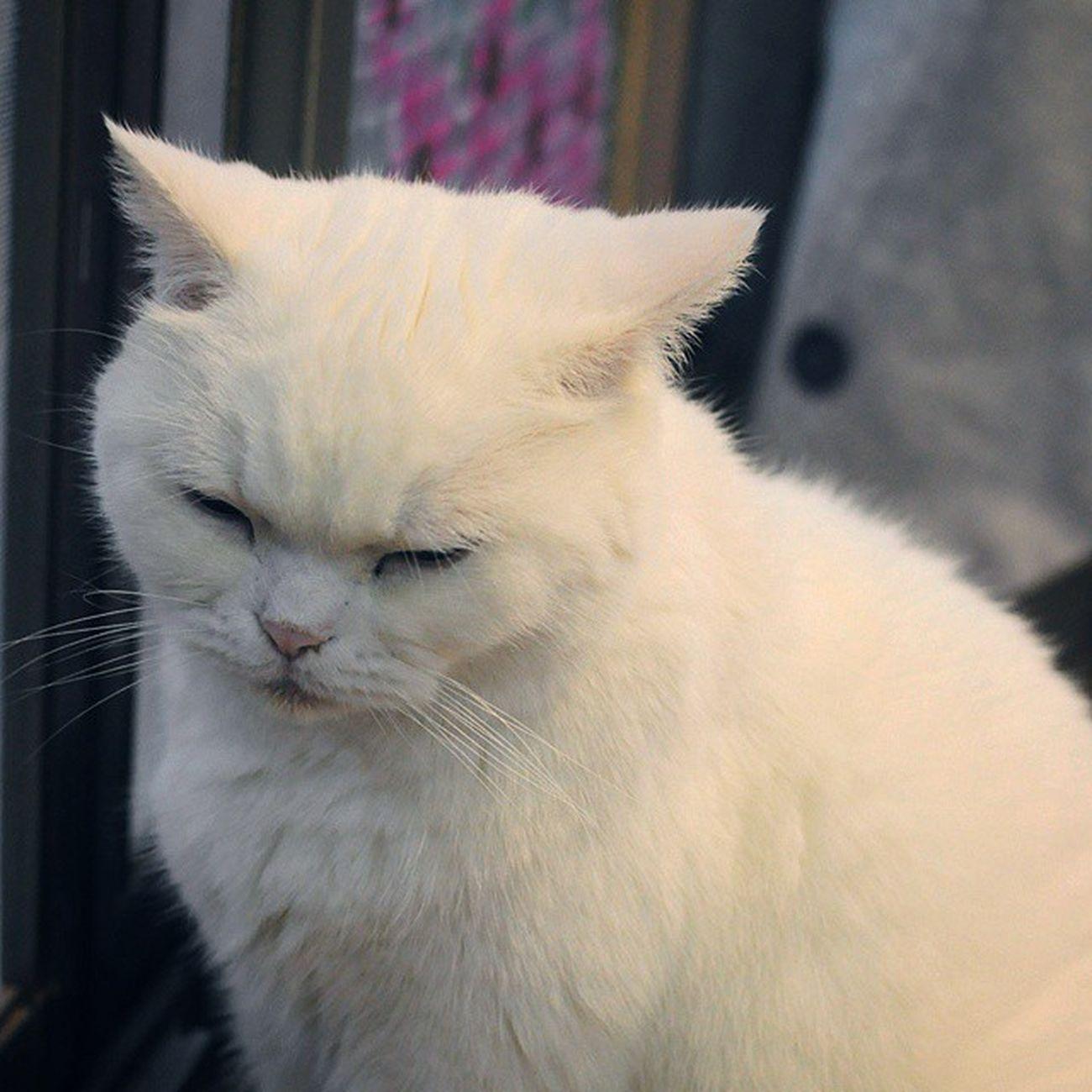 累… ((嘆氣 白貓 喵 Meow Cat Pet