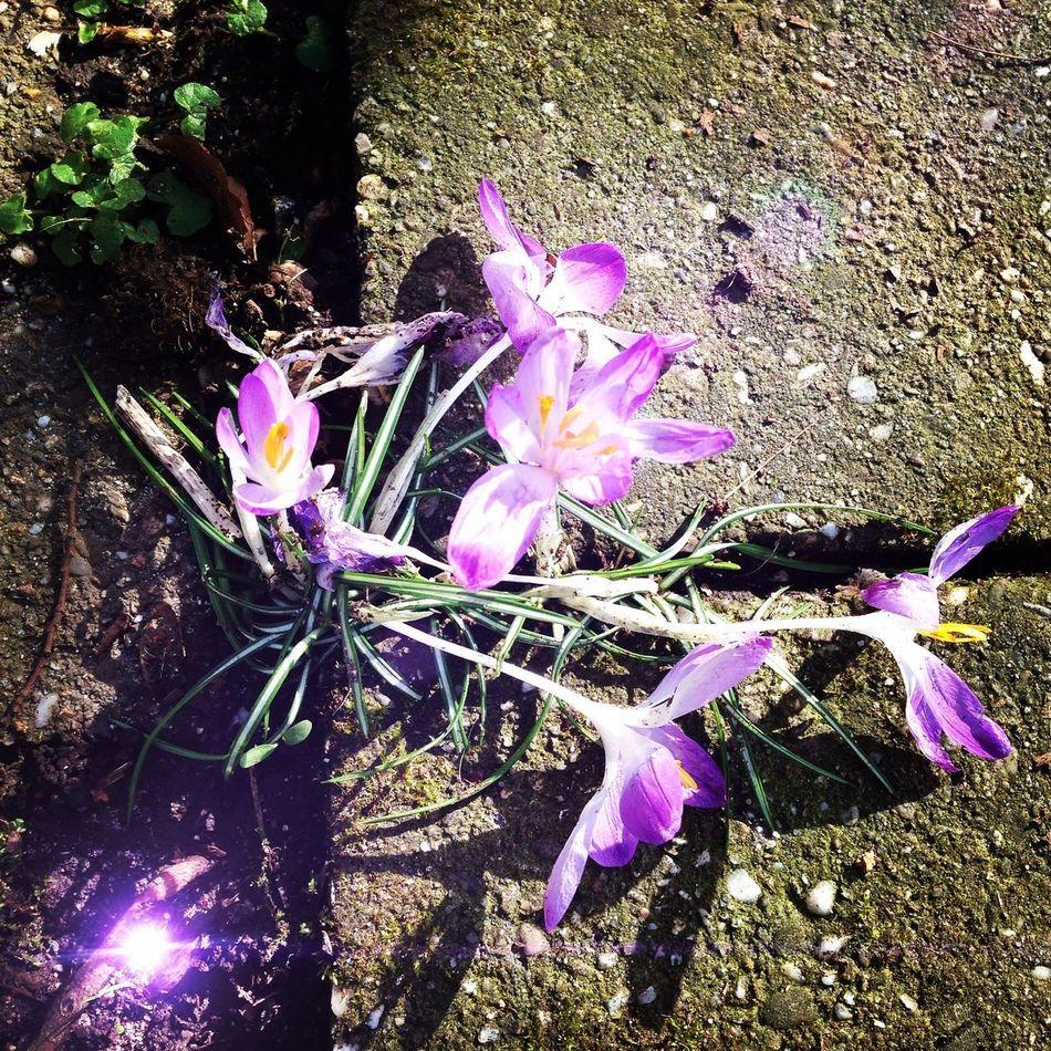 Spring - first crocus