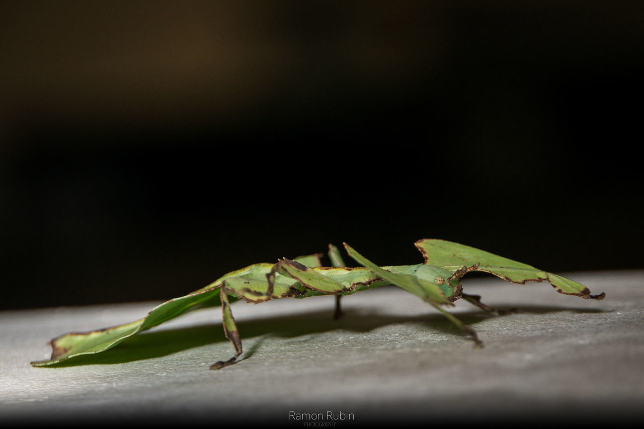 Insect One Animal Animal Themes Green Color Animals In The Wild Animal Wildlife Close-up No People Black Background Nature Night Outdoors