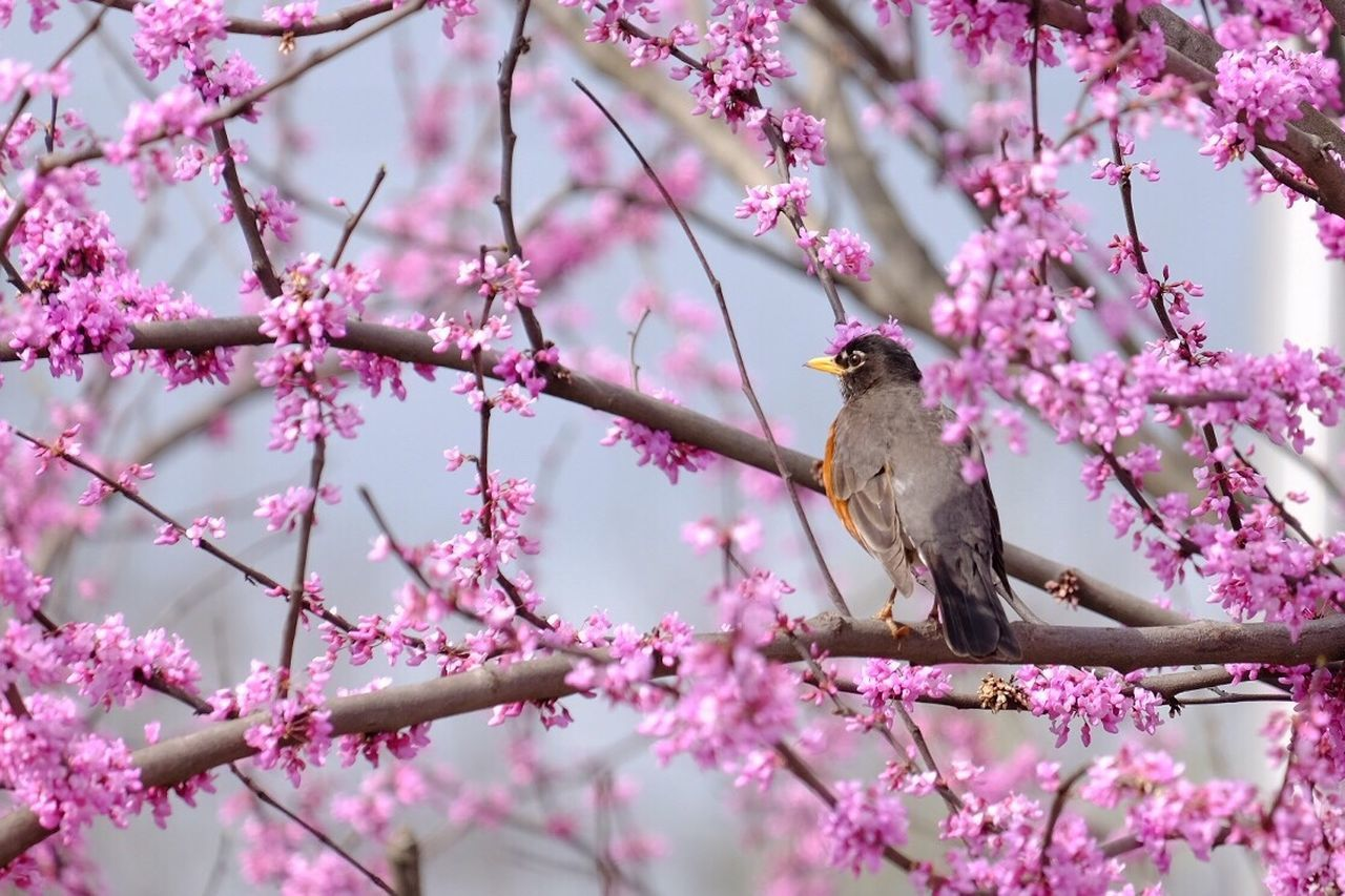Flower One Animal Pink Color Animal Branch Nature Animal Wildlife Animals In The Wild Cherry Blossom Bird Tree Springtime Dogwood Tree Robin Food Full Length Outdoors Animal Themes No People Perching Cherry Tree Millennial Pink