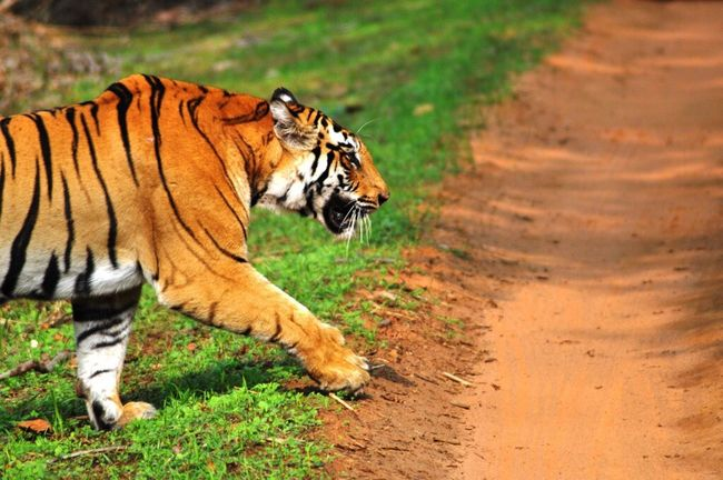 Tigers Tiger Save Tigers Incredibleindia Incredible India Wildlife Wildlife & Nature National Park Bandhavgarh Feline Majestic Check This Out Wildlife Photography Awesome