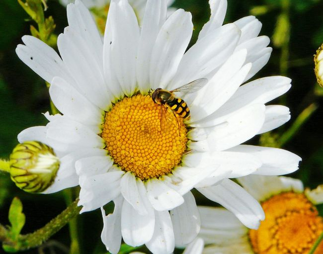Yeah Springtime! Somerset Levels Uk Nature On Your Doorstep Nature Relaxing Taking Photos Ox Eye Daisy Insect Photography Animals Insects