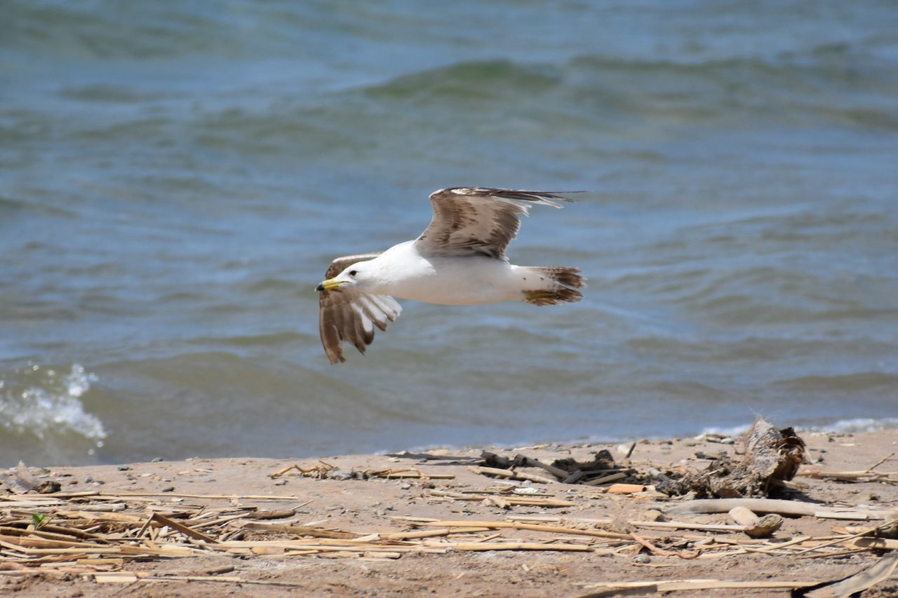 Seagull Bird Animal Wildlife Spread Wings One Animal Flying Animals In The Wild Beach Bird Of Prey Nature Outdoors Water No People Day Beauty In Nature Animal Themes Close-up