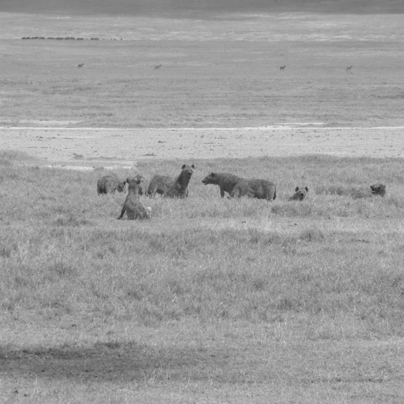 EyeEmNewHere Animals In The Wild Animal Themes Nature Large Group Of Animals Field Day Grass Beauty In Nature Landscape Safari Animals Outdoors Mammal No People Tanzania Hyena Hyenas