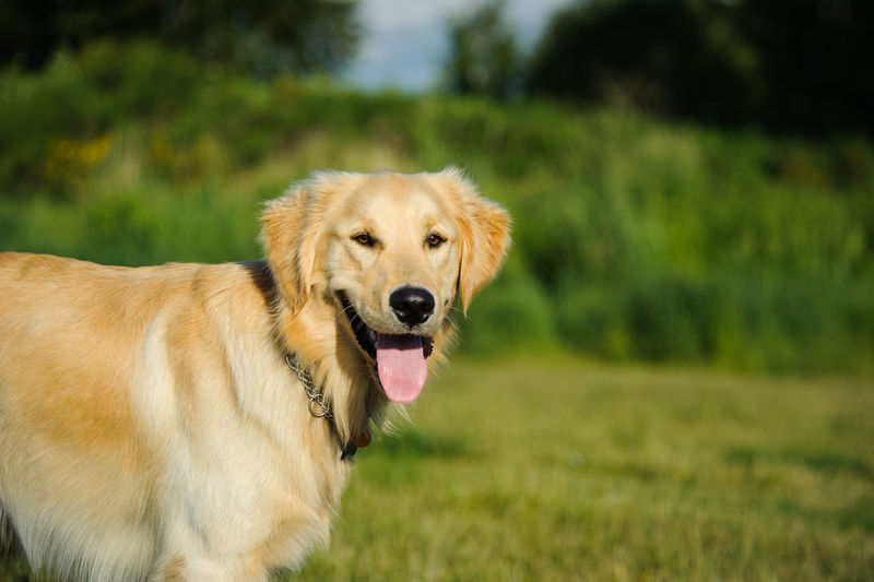 Golden Retriever dog Animal Themes Dog Domestic Animals Golden Retriever Natural Light No People Pet Retriever