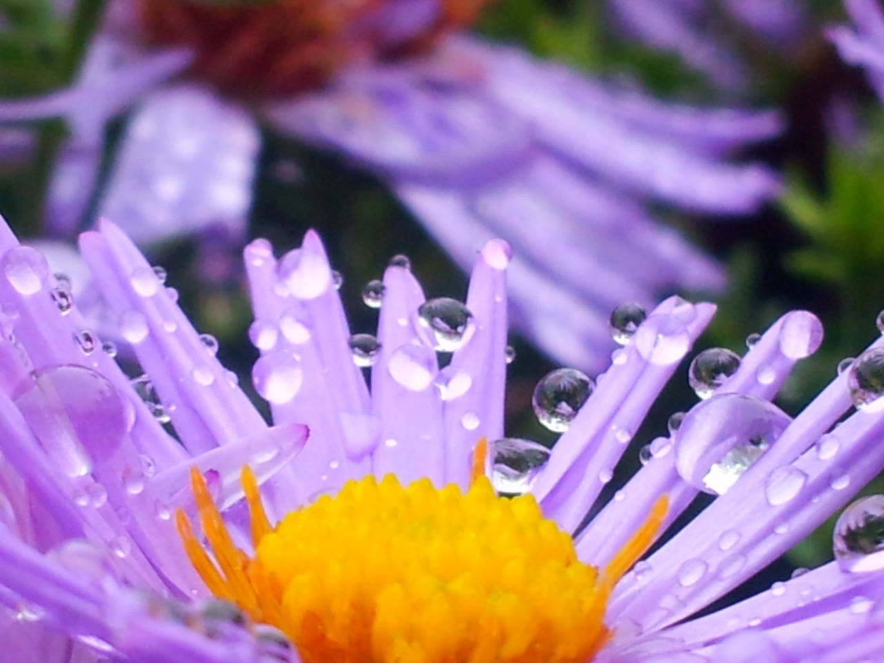 Animal Themes Beauty In Nature Blooming Close-up Day Flower Flower Head Fragility Freshness Growth Nature No People Onedrop Outdoors Petal Purple Raindropmaster Raindrops On Flowers Selective Focus Waterdropmaster Waterdrops Flowers Waterdropsphotography