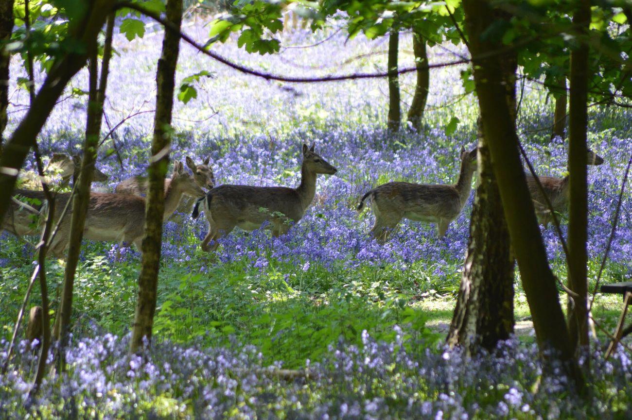 Nature Blue Bells Deers WoodLand Nikon D3200